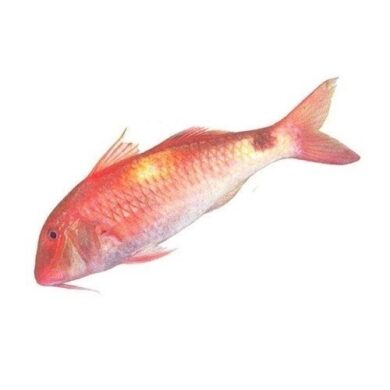 Red Mullet Exotic