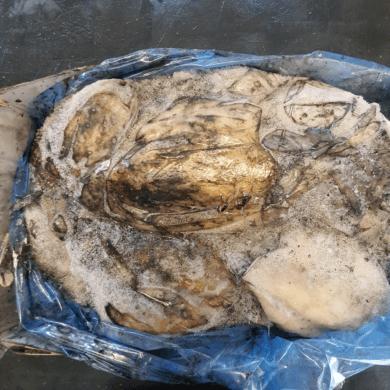 Cuttlefish Whole 6kg FROZEN